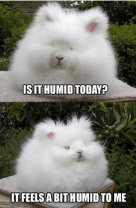 MEME: very fluffy rabbit asking: Is It Humid Today? It feels a bit humid to me.